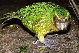 Kakapo good